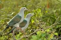 imperial pigeon1